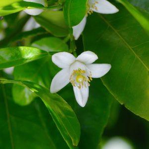 ネロリ オレンジ 花